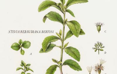 Stevia contra la dulce toxicidad