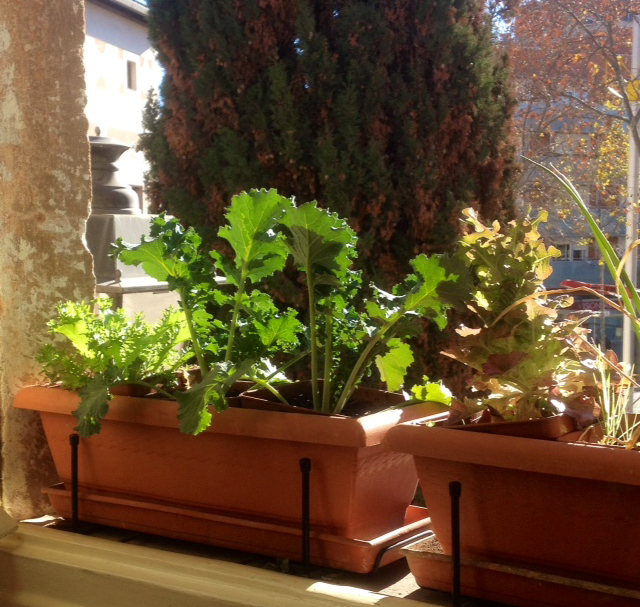 mi ventada hoy: kale, escarola, lechuga roble.